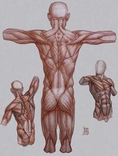 Human Figure Drawing Reference to help you learn to draw people. sometimes the best way to learn something is observation and execution. // Anatomy Demos via… Human Figure Drawing, Figure Drawing Reference, Body Drawing, Anatomy Reference, Drawing Faces, Drawing Tips, Anatomy Back, Body Anatomy, Human Anatomy
