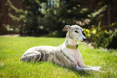 Whippet Dog Love, Puppy Love, Dog Expressions, Whippet Dog, Whippets, Italian Greyhound, Cute Little Animals, Beautiful Babies, Dog Pictures