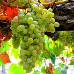 Uma variedade de uva interessante, geralmente não muito conhecida, nem mesmo devidamente considerada no mundo do vinho.