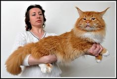 maine coon cats - Google Search