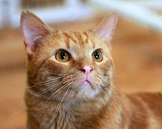 Omar: For the marmalade connoisseur, I'm a fantastic, sweet, orange confection.  I get first place for the cat that likes to be closest to my family. My foster mom called me 'Velcro kitty.'Do you have a comfy, easy going, low maintenance home? I'd be PURRR-fect for you, because, that is me to a 'T'! I have never met a stranger. I'm outgoing, and easy to love.  I will sleep right next to you in bed at night.  I am young and love to play with any wand toys. www.awlmc.org