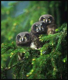 Owls #BirdsofPrey #BirdofPrey #Bird of Prey