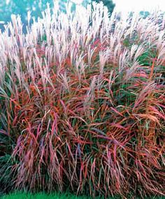 "Miscanthus Purpurescens Grass, Flame  Light Requirement:	Full SunPart Shade Special Qualities:	Deer Ressistant Plant Height:	36-60"" Spacing:	36"" Hardy In:	4-9"