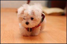 """I want this little dog...""""teddy bear"""""""