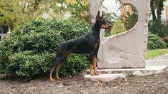 Doberman Dogs, Doberman Pinscher, American Doberman, Ricky Bobby, Service Dogs, Working Dogs, Dog Breeds, Art Photography, Best Friends