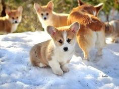 Pembroke Welsh Corgi pups in the snow.