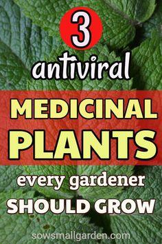 3 easy to grow medicinal plants for your garden for uncertain times. Healing Herbs, Medicinal Plants, Natural Health Remedies, Herbal Remedies, Natural Medicine, Herbal Medicine, Herb Garden, Vegetable Garden, Herbs For Health