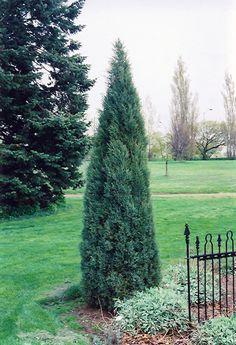Medora Juniper (Juniperus scopulorum 'Medora') at Sherwood Nurseries 10'x3' Peru, Low Maintenance Shrubs, Evergreen Hedge, Eagle Lake, Gardening Zones, Full Size Photo, Trees And Shrubs, Tall Shrubs, Types Of Soil