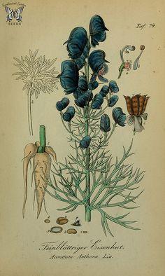 Aconitum anthora. Sammtlich Giftgewache Deutschlands (1854)