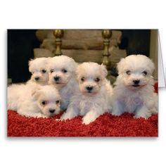 Christmas Maltese Puppies Card
