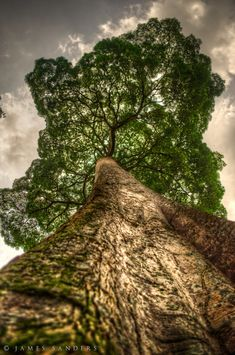 ~~Immensity ~ greatness of a thick tree on Pulau Ubin Island by James Sanders~~