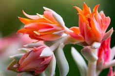 Kaktusblüte - Cactus Flower (Echeveria runyonii) by Maik  on 500px
