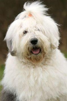 old english sheepdog smiling - Google Search