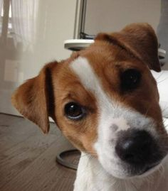 Best Dogs And Puppies Jack Russell Doggies Ideas Jack Russell Mix, Jack Russell Puppies, Cute Dogs And Puppies, Doggies, Maltese Puppies, Parson Russell Terrier, Yorky, Dog Quotes Funny, Jack Russells