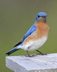 Eastern Bluebird Facts. Had a male & female land on my deck railing the other day.