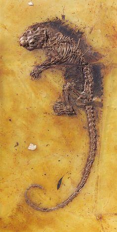 "Anteater (Eurotamandua joresi) 47 Mio Years, Messel in Germany ""Messel on Tour"" Exhibition in Europe"