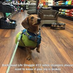 Dachshund Life Struggle // The Struggle is Real // Ammo the Dachshund Dachshund Facts, Dachshund Funny, Dachshund Shirt, Mini Dachshund, Dachshund Puppies, Funny Dogs, Daschund, Dachshund Quotes, Chihuahua Dogs