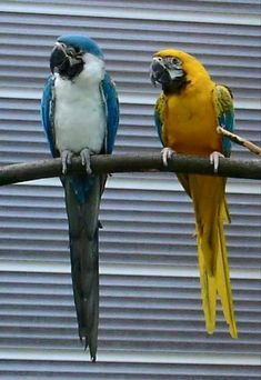 Love these ones colors I Like Birds, Pretty Birds, Beautiful Birds, Animals Beautiful, Birds 2, Tropical Birds, Exotic Birds, Cute Baby Animals, Animals And Pets
