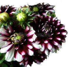 Bicolor Dark Purple Dahlias, 30 stems wholesale real flowers $125