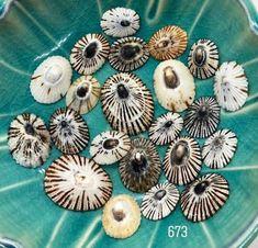 35 PCS White Starburst Limpet Hawaiian Shell Beads
