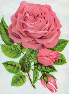 Antique Images: Free Rose Graphic: Botanical Illustration of Pink Rose Clip Art with Leaves and Rose Buds