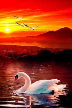 Beautiful Nature Wallpaper, Beautiful Paintings, Beautiful Birds, Beautiful Landscapes, Swan Pictures, Nature Pictures, Beautiful Pictures, Swan Wallpaper, Flower Phone Wallpaper