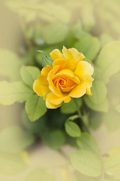 Rose ~ Flower Series 4 by tustin_shooter on Flickr*