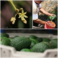 See how Avocados are grown from blossom to table...plus an awesome recipe for Avocado Mango Guaca-Salsa!