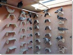 Retrasar la muda de las plumas en palomas mensajeras