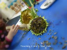 Teaching 2 and 3 Year Olds: Exploring Sunflowers