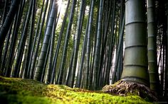 Here you can see photos and information related to topic Bamboo Forest Saga Black Wallpaper Iphone, Animal Wallpaper, Textured Wallpaper, Desktop Wallpapers, Chinese Bamboo Tree, Chinese Plants, Forest Wallpaper, Nature Wallpaper, Cool Wallpaper