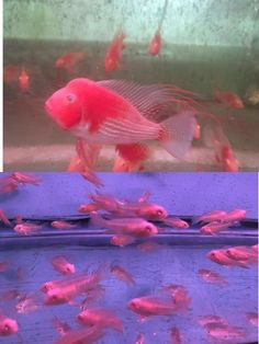 Threadfin Acara Cichlid albino (Acarichthys heckelii) 1 inch live 5 fish South American Cichlids, Live Aquarium Fish, Albino, Tropical Fish, Fresh Water, Exotic, Pets, Animals, Animals And Pets