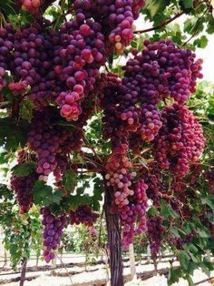 Fruit Aesthetic Grape 45 New Ideas Greek Pantheon, Greek Gods And Goddesses, Greek Mythology, Growing Grapes, Bacchus, Dionysus, Fruit Trees, Deities, Wines