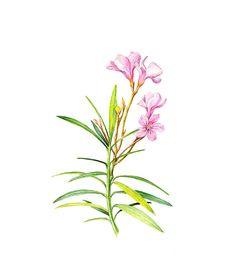 Nerium Oleander Floral Botanical Print by WatercolorsByMonika