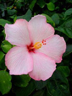 Hibiscus 'Amour'