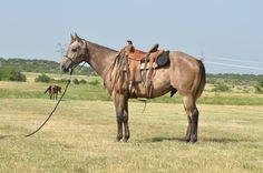 Lot 16 - Chief GRADE GRAY COLT The Wagon Wheel Ranch Ranch Horse Production Sale Sept. 12, 2015 Lometa, Texas (512) 734-0234 www.WagonWheelRanch.com