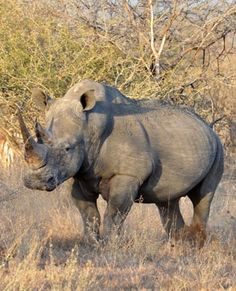 #AFRICA #SWD #GREEN2STAY Rhino poacher shot in KZN game reserve 2014-11-04 09:46 Two men nabbed with 41kg of rhino horn Rhino Horn smugglers caught at OR Tambo Two rhino poachers shot dead Johannesburg - A suspected rhino poacher was shot and wounded in the Phinda Private Game Reserve in Hluhluwe, KwaZulu-Natal, police said on Tuesday. He was among three people arrested after a shoot-out with police inside the reserve on Monday, Major Thulani Zwane said.