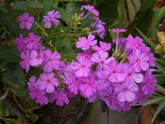 flores plantar primavera - Buscar con Google Plantar, Google, Spring, Flowers