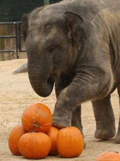 Image result for picture of elephants at the pumpkin smash