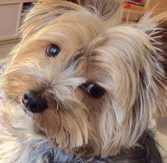Yorkshire Terrier Puppies, Yorkies, Pets, Bunnies, Doggies, Yorkshire Terriers