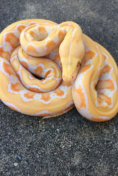 Dwarf white phase reticulated python.