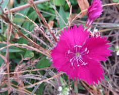 The Last Dianthus by GodsBeautifulEarth on Etsy