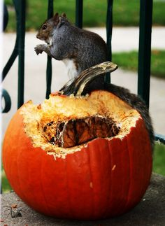 Squirrels took over by NaturegirlJolieツ, via Flickr>>>ew514#pumpkin eating squirrel