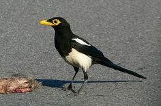 Pica nuttalli - Magpie - Wikipedia, the free encyclopedia