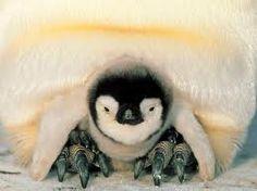 Emperor Penguin chick♡