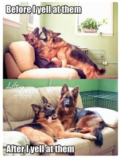 Before And After I Yell At Them cute animals dogs adorable dog puppy animal pets funny animals funny pets funny dogs Cute Funny Animals, Funny Animal Pictures, Dog Pictures, Funny Dogs, Rambo 3, Cute Puppies, Cute Dogs, German Shepherd Dogs, German Shepherds