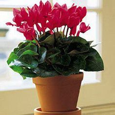 This lovely plant produces a whole succession of flowers over a long period, offering that special someone a whole succession of smiles. Potted Plants, Indoor Plants, Flowering Plants, Cut Flowers, Fresh Flowers, Indoor Balcony, Blossom Flower, Flower Delivery, Merry And Bright