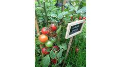 Créer son premier potager : les légumes essentiels // http://www.deco.fr/jardin-jardinage/potager-legume/actualite-564418-potager-tomate-salade-radis-courgette-poireau.html