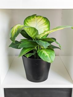 Dumb Cane Care: How to Care for Dieffenbachia Houseplants Diy Murphy Bed Kit, Murphy Beds, Peperomia Plant, Pothos Plant, All Plants, Indoor Plants, Dumb Cane Plant, Light Water, Plant Lighting
