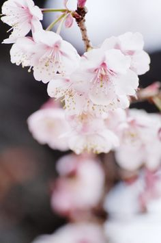 blossoms//